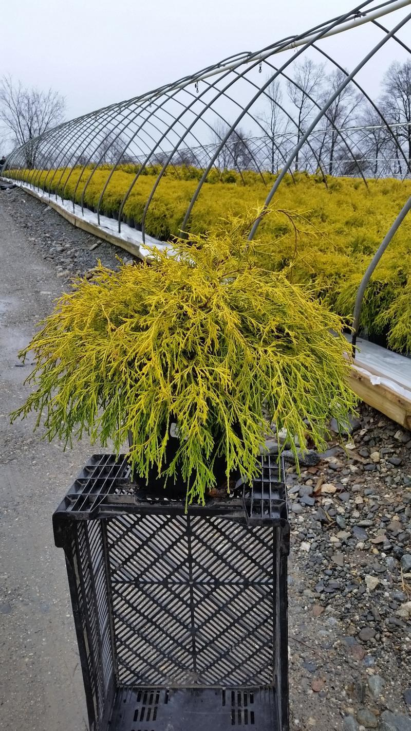 Chamaecyparis pisifera 'Filifera Aurea' - 3 Gal. Crop Shot for 2019-14