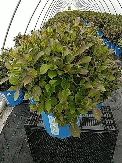 Weigela x 'Tuxedo' - 3 Gal. Crop Shot for 2020-20