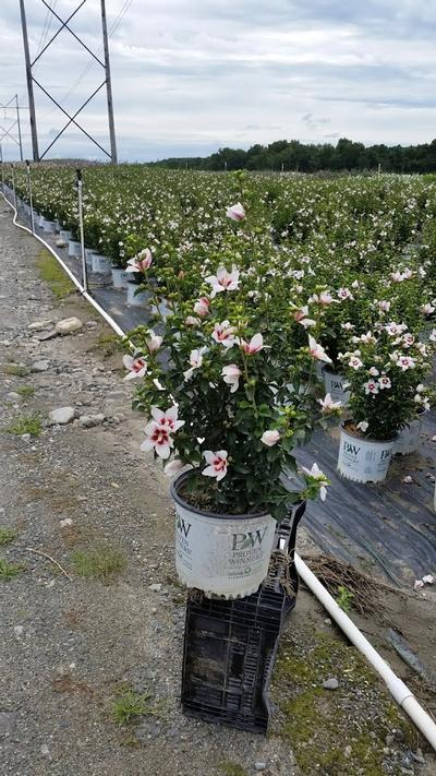 Hibiscus syriacus 'Lil' Kim' - 3 Gal. Crop Shot for 2019-33