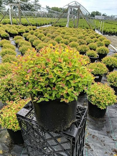 Spiraea japonica 'Magic Carpet' - 3 Gal. Crop Shot for 2020-29