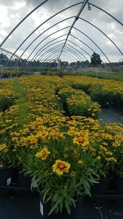 Coreopsis 'Enchanted Eve' - 1 Gal. Crop Shot for 2019-33