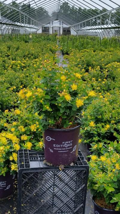 Hypericum inodorum 'Pumpkin' - 2 Gal. Crop Shot for 2019-23