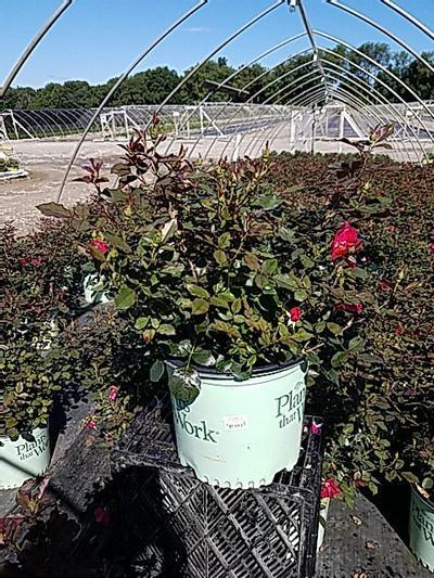 Rosa 'Miracle On The Hudson' - 3 Gal. Crop Shot for 2020-26
