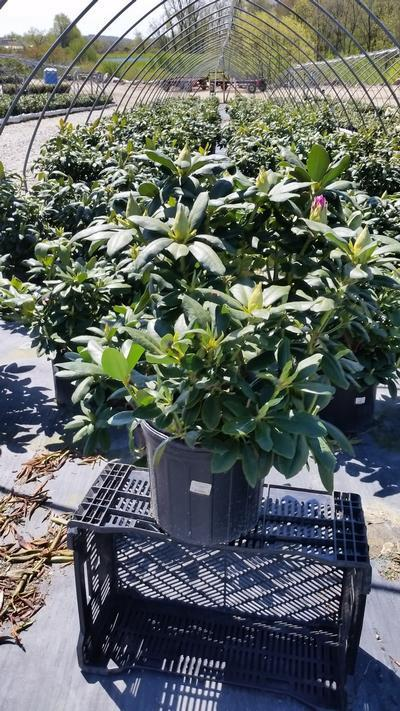 Rhododendron catawbiense 'English Roseum' - 3 Gal. Crop Shot for 2019-19