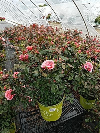 Rosa 'Coral Knock Out®' - 2 Gal. Crop Shot for 2020-21