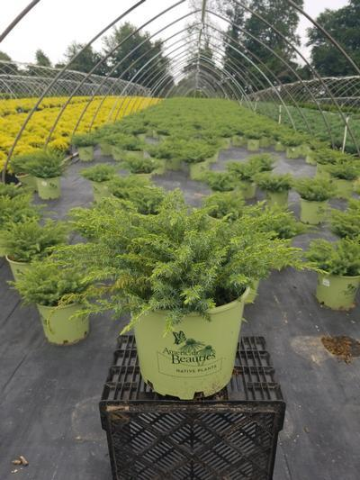 Juniperus communis 'Blueberry Delight' - 3 Gal. Crop Shot for 2020-31
