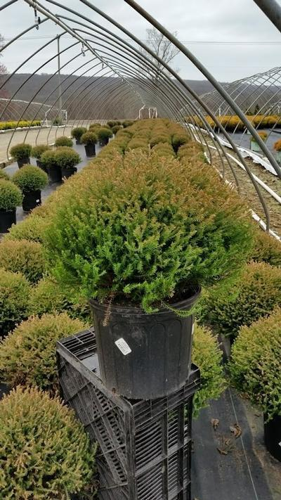 Thuja occidentalis 'Mr. Bowling Ball' - 3 Gal. Crop Shot for 2019-16