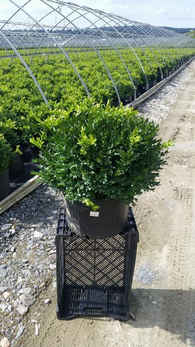 Buxus microphylla var. japonica 'Green Velvet' - 5 Gal. Crop Shot for 2019-35