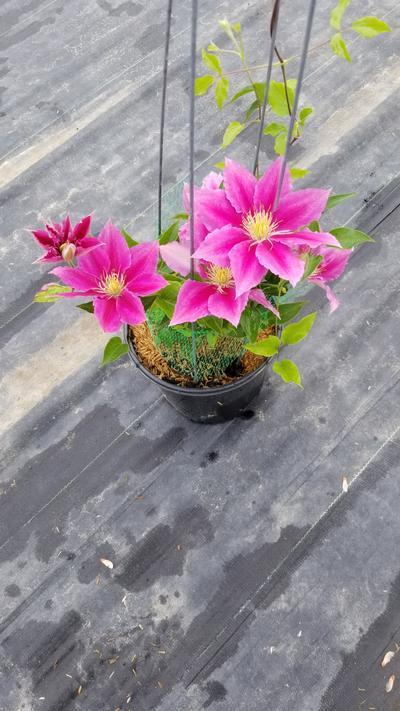 Clematis Vicki NEW - 8 In. Crop Shot for 2020-22