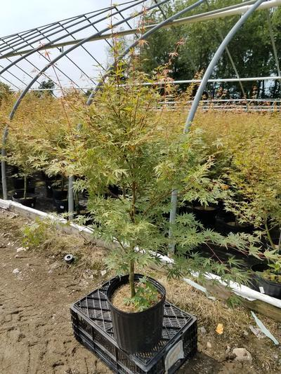 Acer palmatum 'Butterfly' - 3 Gal. Crop Shot for 2019-28