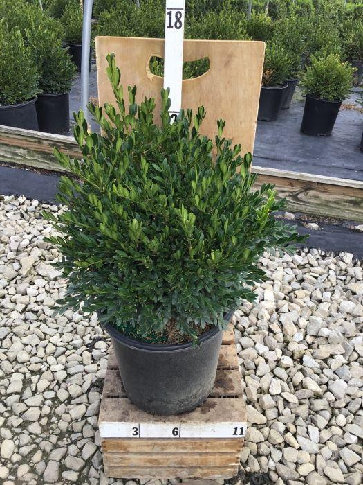 Buxus microphylla 'Green Gem' - 2 Gal. Crop Shot for 2020-38