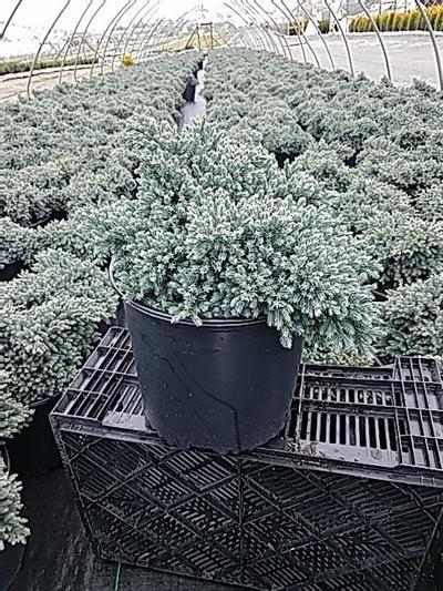 Juniperus squamata 'Blue Star' - 3 Gal. Crop Shot for 2020-16