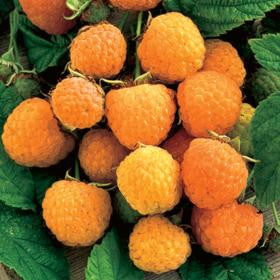 Rubus 'Anne'-#2 Container<br />Anne Golden Raspberry