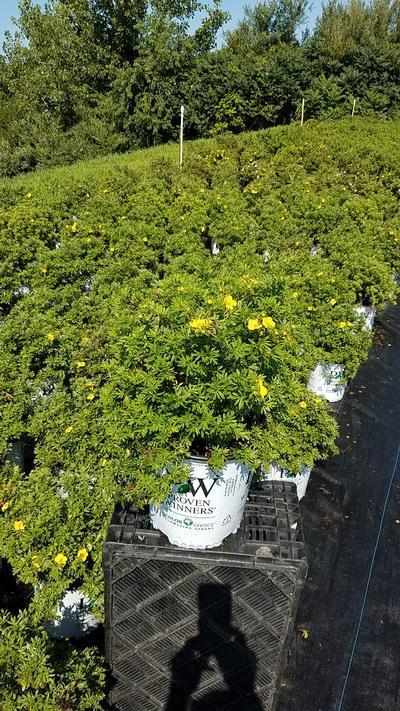 Potentilla 'Happy Face Yellow - 2 Gal. Crop Shot for 2019-31