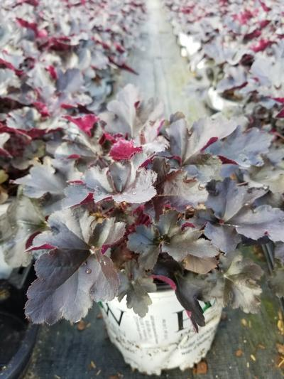 Heuchera Primo™ 'Black Pearl' - 1 Gal. Crop Shot for 2019-39
