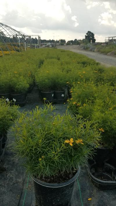 Coreopsis verticillata 'Zagreb' - 1 Gal. Crop Shot for 2019-33