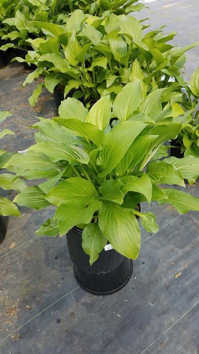 Hosta 'Royal Standard' - 2 Gal. Crop Shot for 2019-22