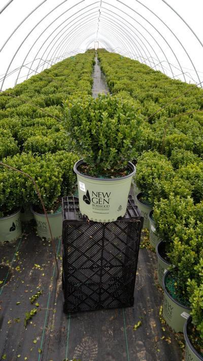 Buxus NewGen™ Freedom®  NEW - 3 Gal. Crop Shot for 2020-17