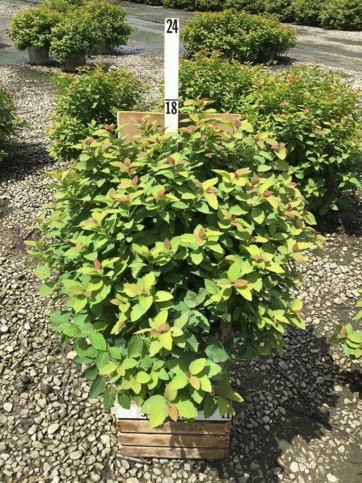 Spiraea japonica 'Double Play Big Bang' - 3 Gal. Crop Shot for 2020-33