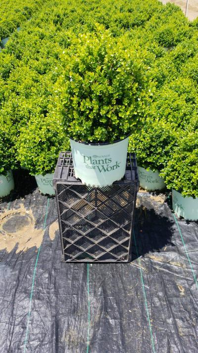 Buxus x 'Cranberry Creek' - 3 Gal. Crop Shot for 2020-24