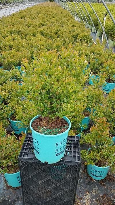 Vaccinium 'Blueberry Glaze' - 2 Gal. Crop Shot for 2019-21