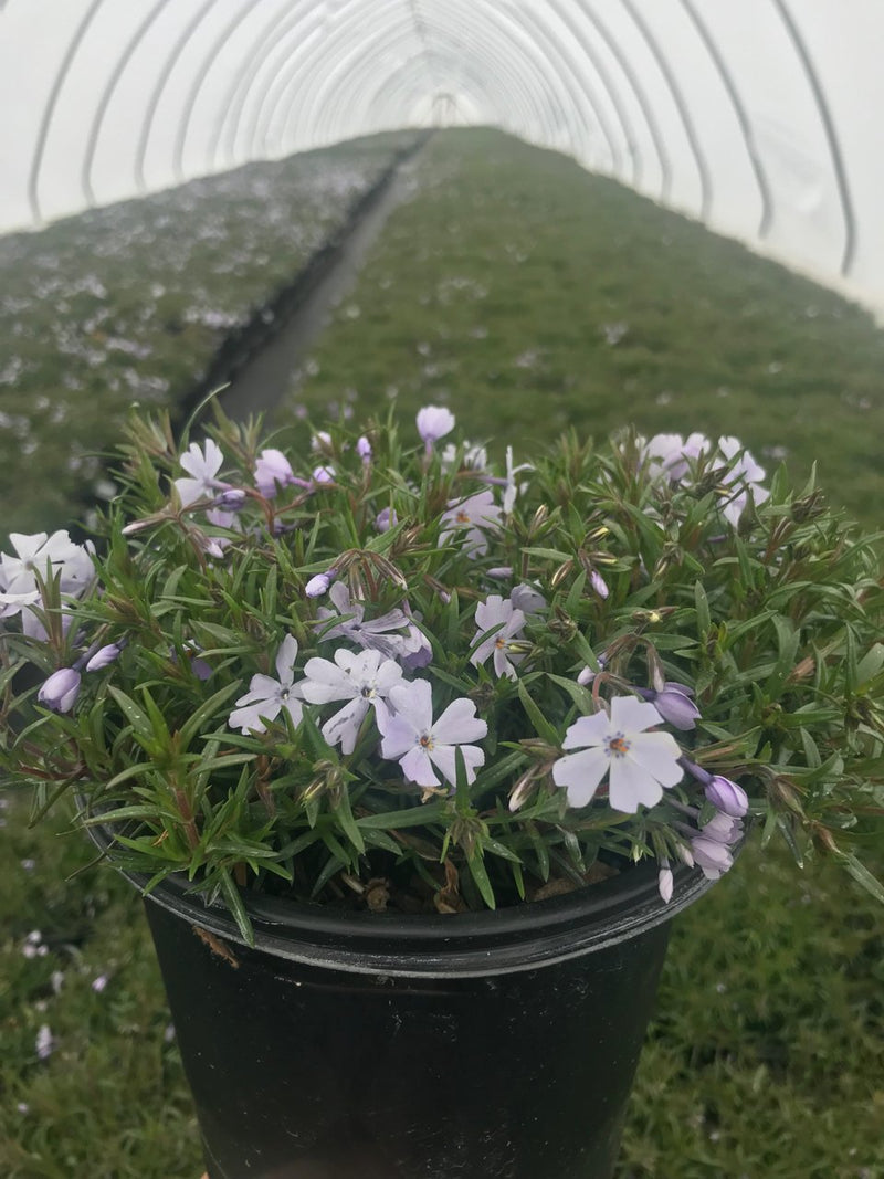 Phlox subulata 'Emerald Blue' - #1 Crop Shot for 2018-15