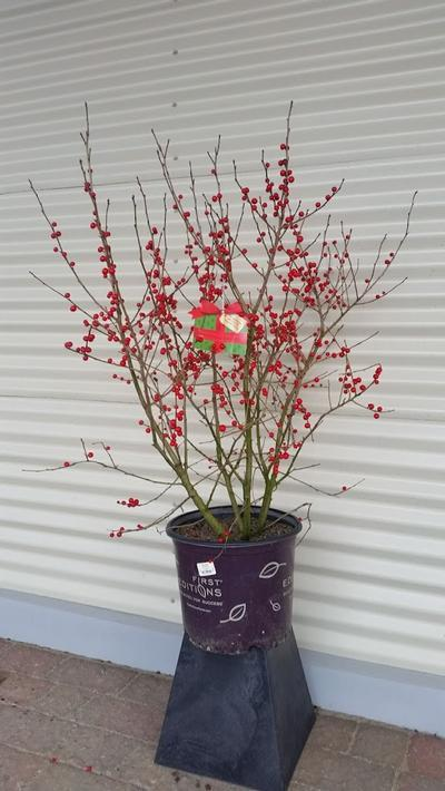 Ilex verticillata 'Wildfire™' - 3 Gal. Crop Shot for 2019-47