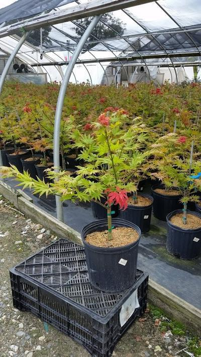 Acer shirasawanum 'Autumn Moon' - 3 Gal. Crop Shot for 2019-36