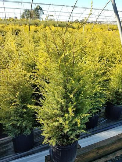 Juniperus communis 'Gold Cone' - 2 Gal. Crop Shot for 2019-39