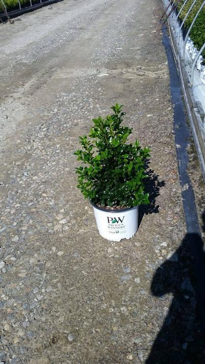 Ilex x Meserveae 'Castle Spire® ' - 3 Gal. Crop Shot for 2019-37