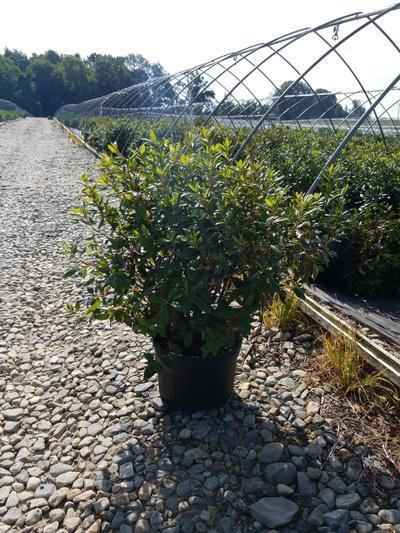 Rhododendron 'Landmark' - 5 Gal. Crop Shot for 2020-33