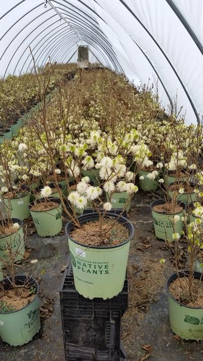 Fothergilla major - 2 Gal. Crop Shot for 2019-16
