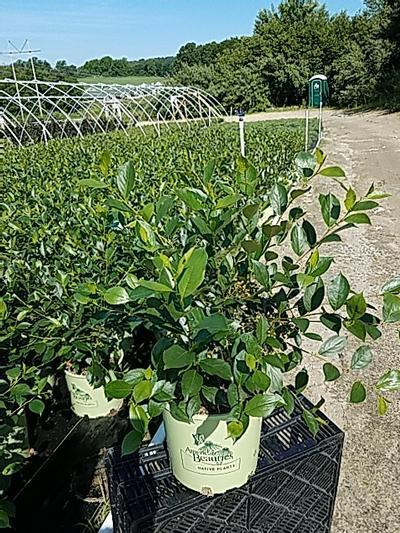 Aronia mel. 'Iroquois Beauty' - 3 Gal. Crop Shot for 2020-24