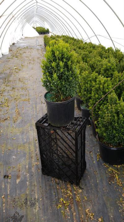Buxus microphylla var. japonica 'Green Mountain' - 3 Gal. Crop Shot for 2020-18