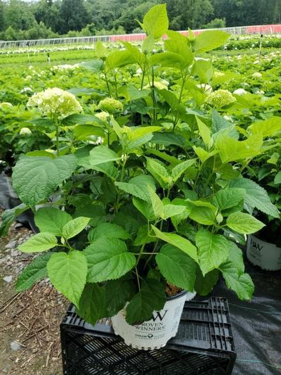 Hydrangea arborescens 'Incrediball®' - 3 Gal. Crop Shot for 2020-28
