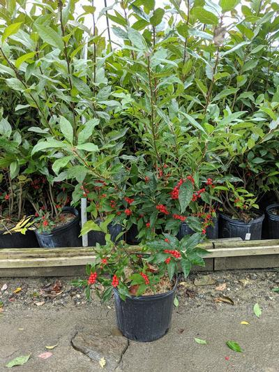 Ilex ser. x verticillata Sweetheart - 3 Gal. Crop Shot for 2019-40