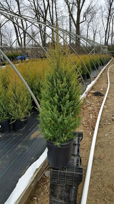 Juniperus communis 'Gold Cone' - 2 Gal. Crop Shot for 2019-16