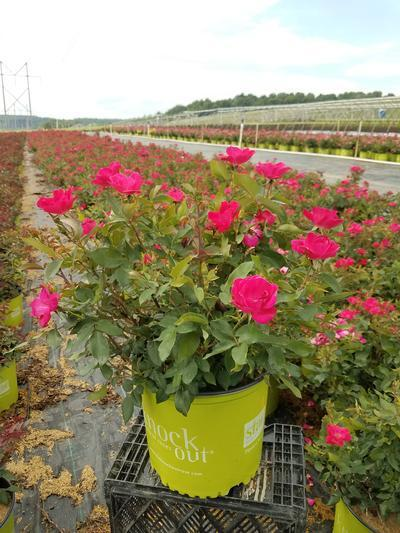 Rosa Knockout - 3 Gal. Crop Shot for 2019-28