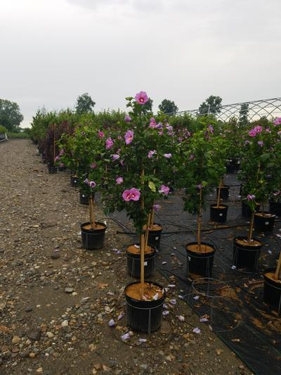Hibiscus syr. 'Minerva' - Tree Form - 7 Gal. Crop Shot for 2020-30