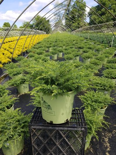 Juniperus communis 'Blueberry Delight' - 3 Gal. Crop Shot for 2020-28