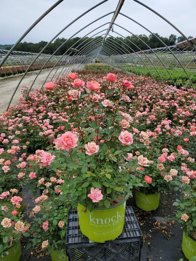Rosa Coral Knock Out® - 3 Gal. Crop Shot for 2020-35