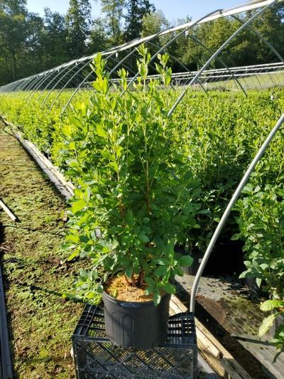 Clethra alnifolia - 5 Gal. Crop Shot for 2020-34