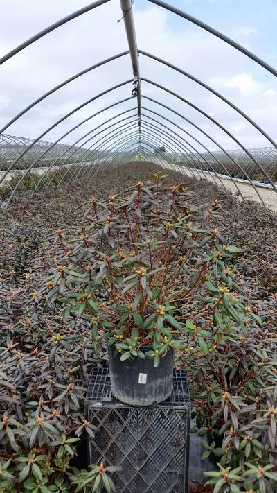 Rhododendron 'Landmark' - 3 Gal. Crop Shot for 2019-16