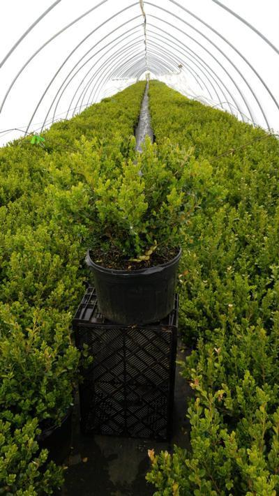 Buxus microphylla 'Winter Gem' - 5 Gal. Crop Shot for 2020-17