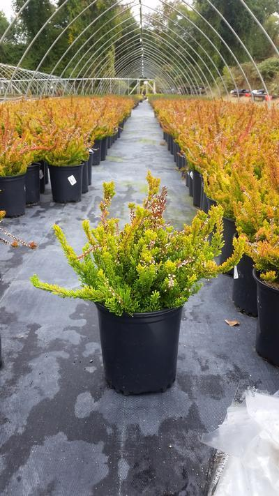 Calluna vulgaris 'Winter Chocolate' - 1 Gal. Crop Shot for 2019-40