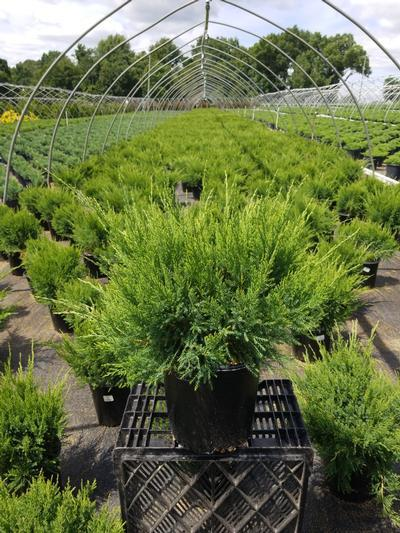 Juniperus chinensis 'Sea Green' - 2 Gal. Crop Shot for 2020-28