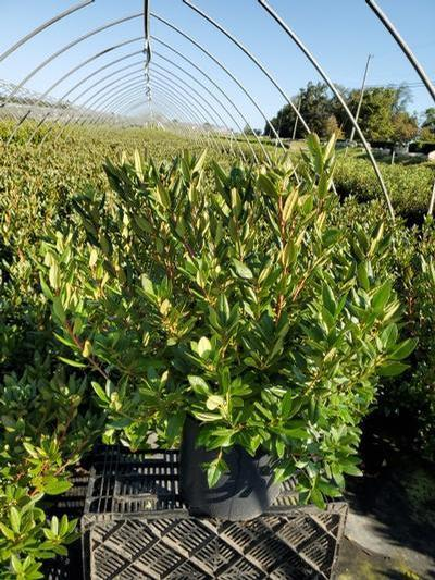 Rhododendron 'Aglo' - 3 Gal. Crop Shot for 2020-36