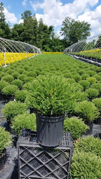 Thuja occidentalis 'Mr. Bowling Ball' - 2 Gal. Crop Shot for 2019-25