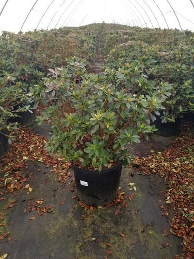 Rhododendron (Azalea) 'Girards Fuchsia' - 3 Gal. Crop Shot for 2020-12