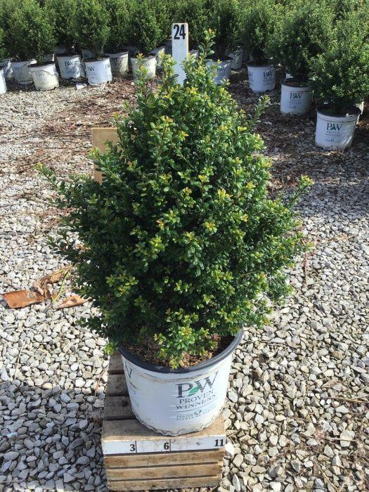 Ilex crenata 'Patti O' - 3 Gal. Crop Shot for 2020-30